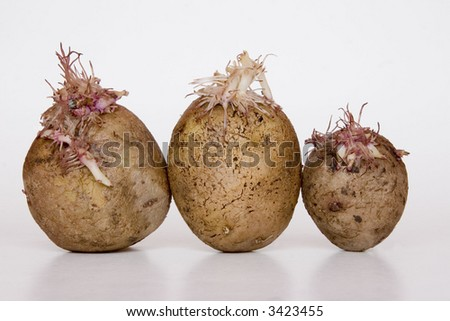 potatoes in growth