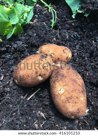 Potatoes just harvested out of the ground.