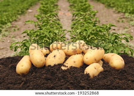 potatoes on a background of field - stock photo