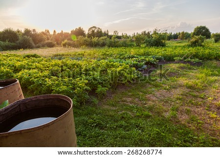 Potatoes plantation with old barrels and sunset light - stock photo