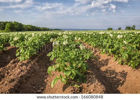 Potatoes plants growing in a field in rural Prince Edward Island. - stock photo