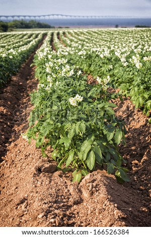 Potatoes plants growing in a field in rural Prince Edward Island. The Confederation Bridge is in the distant background. Shallow depth of field. - stock photo