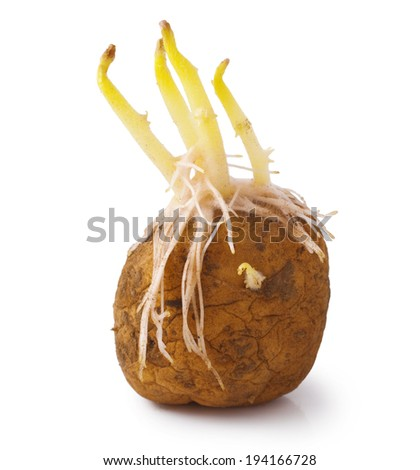 potatoes seeds with sprouts for planting on white background  - stock photo