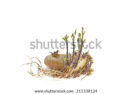 Potatoes sprouting - stock photo