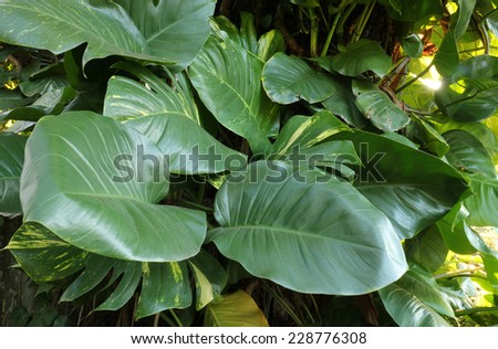 Pothos Aureaus as Mature Monstera Jungle Backgroud - stock photo