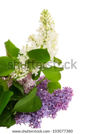 Potpourri. Flowers of varicolored lilac isolated on white - stock photo