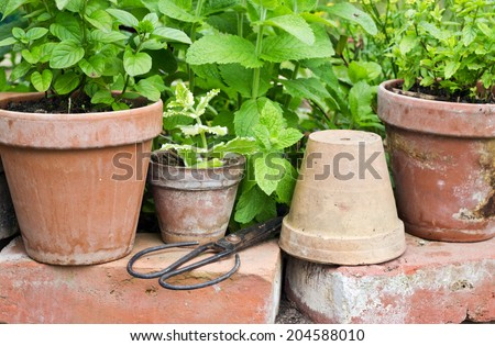 Pots with peppermint plants/peppermint/garden