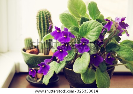 Potted African Violet (Saintpaulia) on the background of cactus, houseplants - stock photo