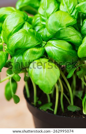 potted basil herb plant on wooden table with - stock photo