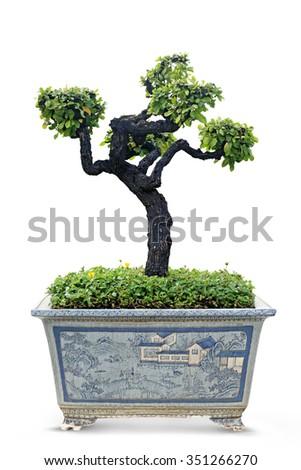 Potted bonsai white background. - stock photo