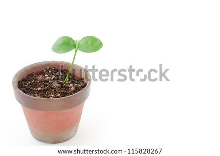 Potted citrus bud on a white background