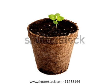 Potted coleus sprout isolated on a white background