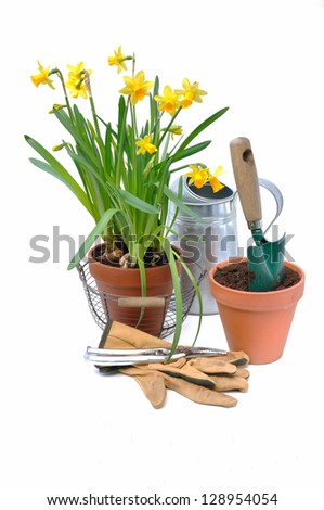 Potted daffodils with garden tools on white background - stock photo