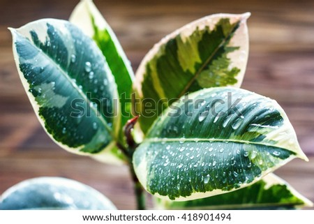 Potted ficus elastica plant, on a wooden background, closeup, selectiv focus. Urban gardening, home planting. Ficus tree houseplant. Concept image for interior design. - stock photo