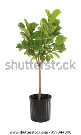 Potted Ficus Larata or Fiddle Leaf Fig Tree Isolated on White - stock photo