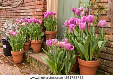 Potted Garden Spring Easter Tulips  - stock photo