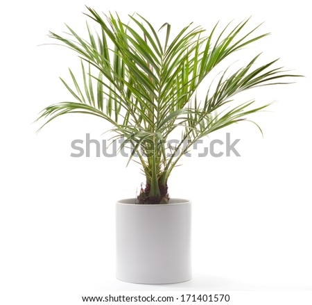 Potted Plant - Date Palm - stock photo