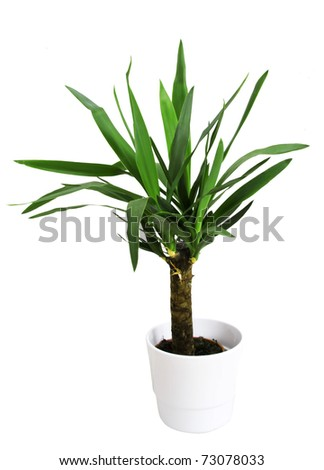 Potted plant (yucca) in a pot on a white background - stock photo
