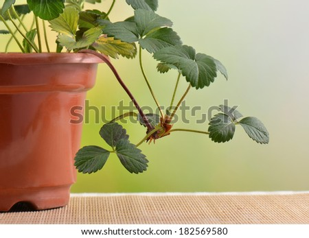 Potted plants strawberries  - stock photo