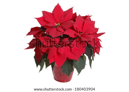 Potted poinsettia plant with red foil on pot with white background - stock photo