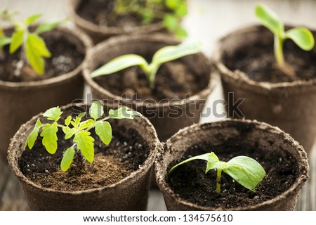 Potted seedlings growing in biodegradable peat moss pots - stock photo