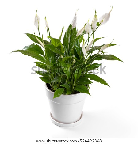 potted spathiphyllum flower isolated on white background