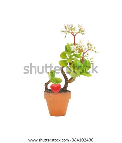 Potted succulent flower jade plant also called money tree, lucky plant, dollar plant, friendship tree with red heart isolated on white background - stock photo