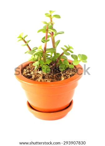 Potted Succulent Plants Isolated on White - stock photo