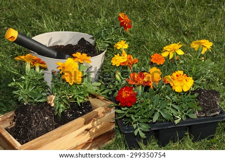 Potting beautiful spring flowers - stock photo