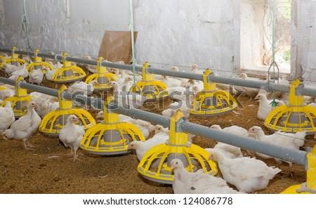 Poultry farm - stock photo