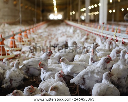 Poultry farm (aviary) full of white laying hen