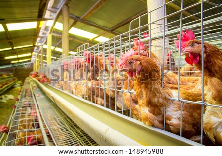 Poultry farm hens and eggs, aviary - stock photo