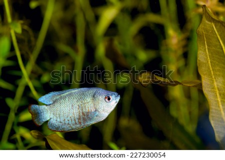 Powder Blue Dwarf Gourami in an Aquarium - stock photo