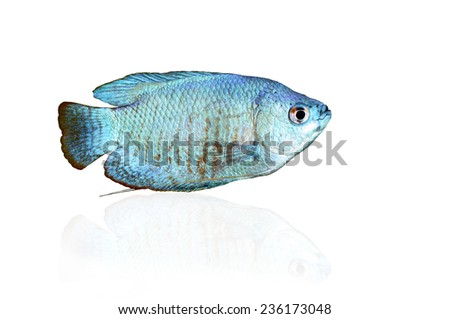 Powder Blue Dwarf Gourami isolated on white with reflection - stock photo