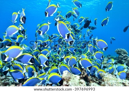 Powder blue surgeonfish