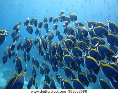 Powder Blue Surgeonfish,Thailand,Similan. - stock photo