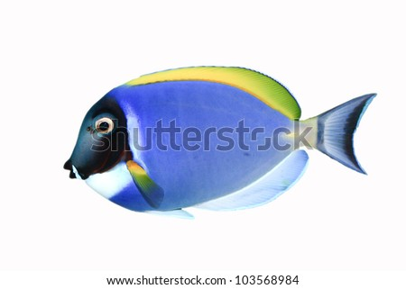 Powder Blue Tang (Acanthurus leucosternon) isolated on white background - stock photo