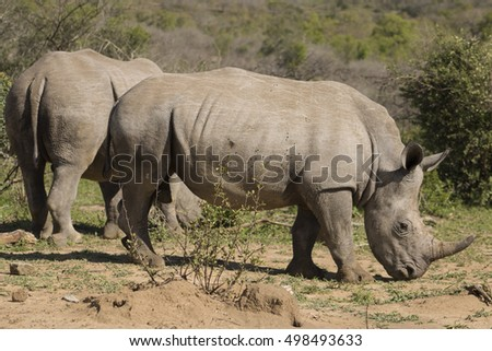 Power White Rhino pair
