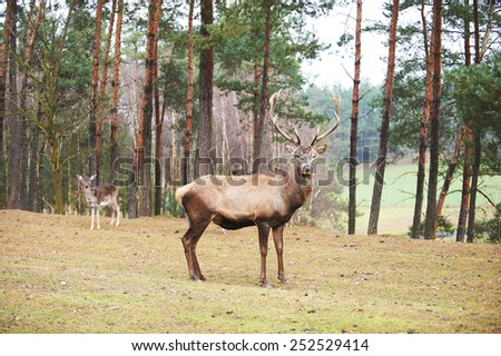 Powerful adult red deer stag in natural environment autumn fall forest. - stock photo