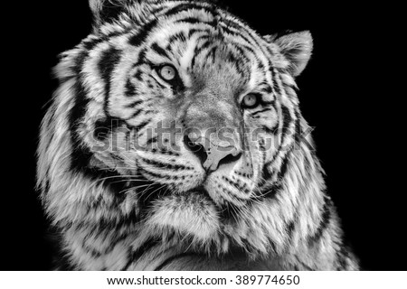 Powerful high contrast black and white tiger face - stock photo