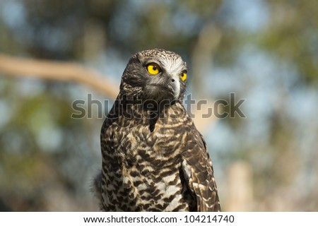 Powerful owl portrait