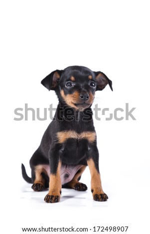 Prague Ratter, puppies, cute, tan