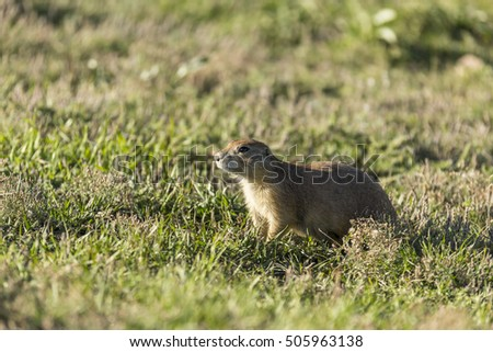 Prairie Dog / A prairie dog in the Black Hills of South Dakota.