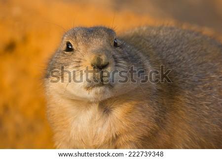 Prairie dog, dramatic look, on orange sand. - stock photo