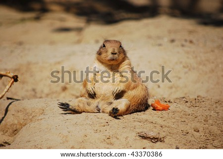 Prairie dog eating his carrot - stock photo