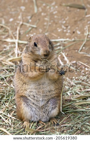 Prairie dog eating straw in a dirt field - stock photo