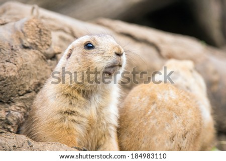 Prairie Dog emerging from a burrow/Prairie Dog/Prairie Dog - stock photo