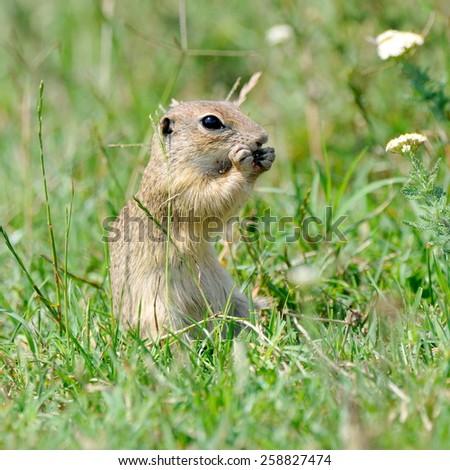 prairie dog in natural habitat - stock photo