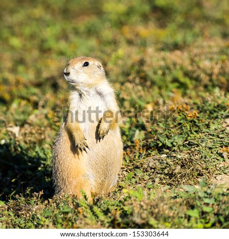 Prairie Dog in Theodore Roosevelt National Park - stock photo