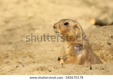 Prairie dog looking out of its burrow - stock photo